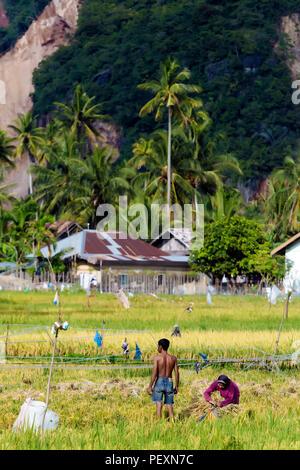 People working in rice field, Banda Aceh, Sumatra, Indonesia - Stock Photo