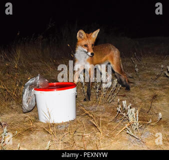 The fox at night is looking for food. The fox is next to a white bucket with food waste - Stock Photo