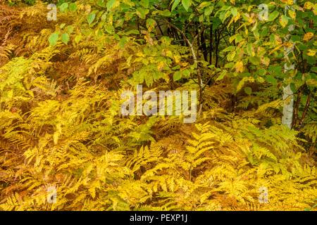 Late summer Bracken fern (Pteridium aquilinum), Greater Sudbury, Ontario, Canada - Stock Photo