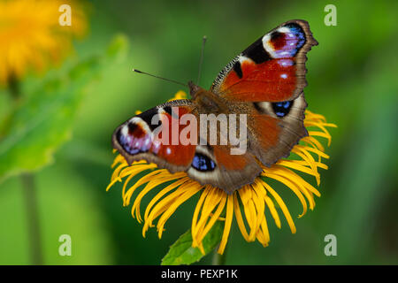 European Peacock butterfly sitting on a yellow flower with green background in a summer time and sunny day - Stock Photo