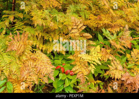 Late summer Bracken fern (Pteridium aquilinum) and Northern wild raisin (Vibernum casssinoides), Greater Sudbury, Ontario, Canada - Stock Photo