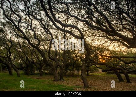 Southern live oak, Quercus virginiana, at dawn, Goose Island State Park, Texas, USA - Stock Photo
