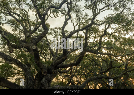 Southern live oak, Quercus virginiana, at dawn, Goose Island State Park, Texas, USA - Stock Photo
