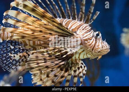 Red lionfish (Pterois volitans), a beautiful but venomous coral reef fish, at the Georgia Aquarium in Atlanta, Georgia. (USA) - Stock Photo