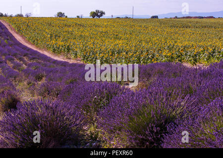 lavender and sunflower field purple aromatic flowers near valensole in provence france - Stock Photo