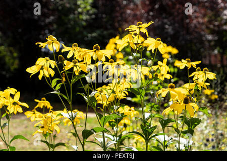 Backlit yellow Rudbeckia flowers - Stock Photo