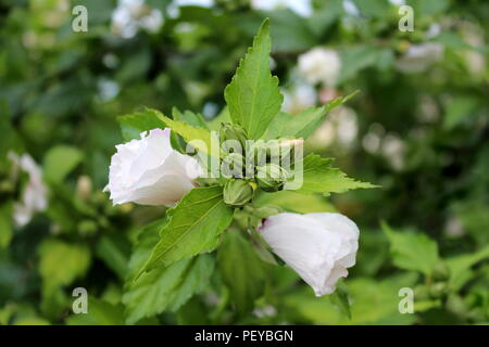 Hibiscus syriacus Red Heart or Rose of Sharon Red Heart variety flowering hardy deciduous shrub plant with closed flower buds surrounded with two part - Stock Photo