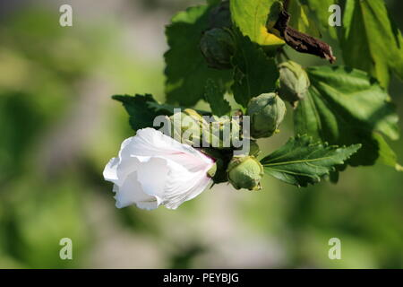 Hibiscus syriacus Red Heart or Rose of Sharon Red Heart variety flowering hardy deciduous shrub plant with single partially blooming white flower next - Stock Photo