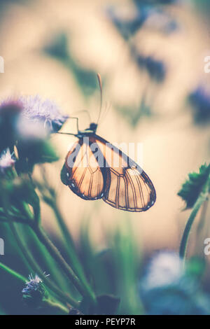 Vintage style photo of a glasswinged butterfly on the purple flower, little beautiful insect with amazing wings, majestic nature of Costa Rica - Stock Photo