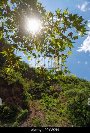 Mountain landscape, seen the sky, branches and leaves of tree Alder, or Sycamore of the species is Platanus wrighti. Daylight. sun rays Paisaje de la montaña, vista la cielo, las ramas y hojas de arbol  Aliso, o Sicomoro de la especie es Platanus wrighti. Luz de dia, Rayos de sol.   (Foto: LuisGutierrez/NortePhoto.com)   Expedición Discovery Madrense de GreaterGood ORG que recaba datos que  sirven como información de referencia para entender mejor las relaciones biológicas del Archipiélago Madrense y se usan para proteger y conservar las tierras vírgenes de las Islas Serranas Sonorenses. Exped - Stock Photo