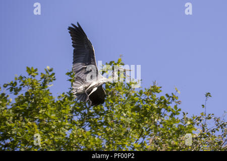 August 15, 2018 - Rust, Baden-Wurttemberg, Germany - Gray heron in flight on a boat trip through the nature reserve Taubergießen near the Europa-Park Rust Credit: Jannis Grosse/ZUMA Wire/Alamy Live News - Stock Photo
