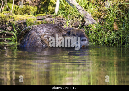 August 15, 2018 - Rust, Baden-Wurttemberg, Germany - Nutria swims past the boat on a boat trip through the nature reserve Taubergießen near the Europa-Park Rust Credit: Jannis Grosse/ZUMA Wire/Alamy Live News - Stock Photo