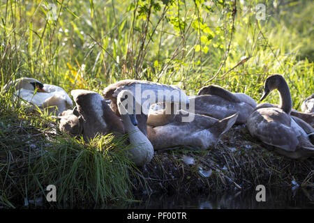 August 15, 2018 - Rust, Baden-Wurttemberg, Germany - A swan's nest on the shore during a boat trip through the nature reserve Taubergießen near the Europa-Park Rust Credit: Jannis Grosse/ZUMA Wire/Alamy Live News - Stock Photo