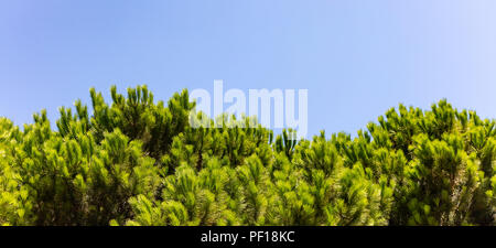 Bright green tops of pine trees on blue sky background - Stock Photo