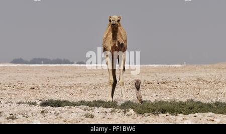 Day old young camel with it's mother in the Qatar Desert - Stock Photo