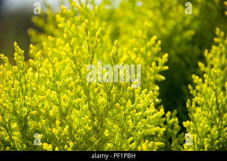 thuya evergreen garden bush - Stock Photo