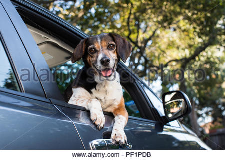 Smiling beagle leaning out of the passenger window of a car - Stock Photo