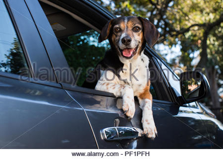 Happy-looking smiling beagle leaning out of a car passenger window with paws resting on door handle - Stock Photo
