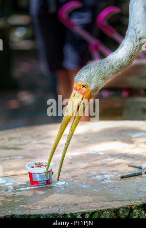 A Yellow-billed stork, Mycteria ibis, helps itself to a cup of ice cream sitting on a table in the Kuala Lumpur Bird Park, Malaysia, Southeast Asia. - Stock Photo