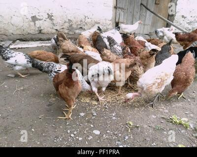Chickens and hen eating food . Chicken, chicken, ferry, eats from cockroaches - Stock Photo