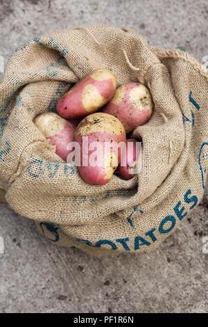 Solanum tuberosum 'Pink Gypsy'. Freshly harvested Potato 'Pink Gypsy' in a hessian sack. - Stock Photo