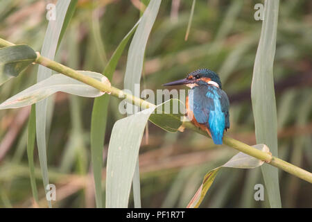 Common kingfisher (Alcedo atthis) male perched on a cane plant - Stock Photo