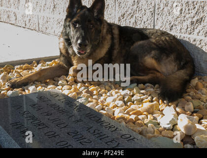 Military Working Dog Sirius sits near the memorial stone of his former handler, Sgt. Joshua Ashley, outside of 2nd Law Enforcement Battalion's Ashley Kennels at Camp Lejeune, N.C., Feb. 25, 2016, shortly after his retirement ceremony and adoption. Sirius' former handler, Sgt. Joshua Ashley, was killed while on patrol in 2012 in support of Operation Enduring Freedom. Ashley's family adopted Sirius, in keeping with the fallen Marine's wishes. (U.S. Marine Corps Photo by Cpl. Michelle Reif/Released) - Stock Photo