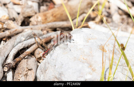 Cherry-faced Meadowhawk (Sympetrum internum) Perched on a Rock in a Meadow in Colorado - Stock Photo