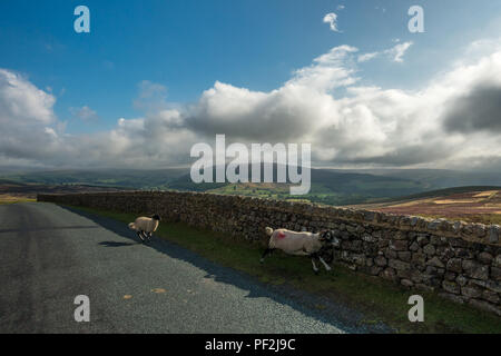 Sheep run across the road in front of traffic on rural Embsay Moor, Yorkshire Dales - Stock Photo