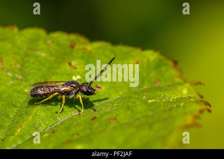 male Halictus tumulorum solitary bee perched on a leaf - Stock Photo