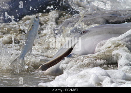 Bottlenose dolphin strand feeding by driving fish onto the beach and then beaching themselves to feed on the trapped prey. - Stock Photo