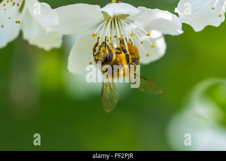Small yellow bee pollinating a white spring blossom of a cherry. Nice macro shot with a blurred green background. Many details in the picture. A bee c - Stock Photo