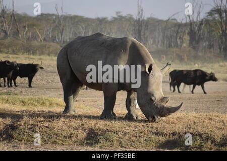 Rhino, Lake Nakuru National Park, Kenya - Stock Photo