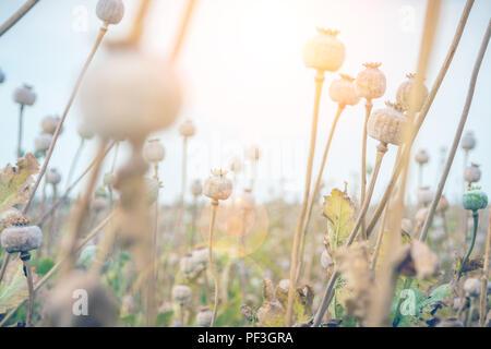 closeup of many poppy heads in poppy field ready for harvest - Stock Photo