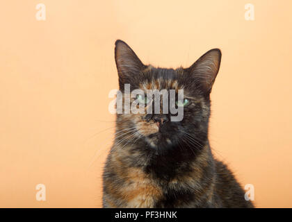 Portrait of one tortie torbie tabby cat on an orange background. Looking directly at viewer with perplexed irritated expression. Copy space. - Stock Photo