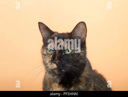 Portrait of one tortie torbie tabby cat on an orange background. Looking directly to viewers left with a curious attentive expression. Copy space. - Stock Photo