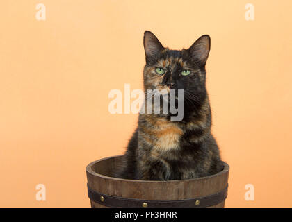 Portrait of one tortie torbie tabby cat on an orange background sitting in a wooden bucket. Looking directly at viewer with skeptical expression. Copy - Stock Photo