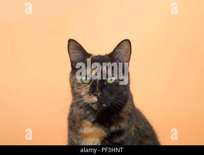 Portrait of one tortie torbie tabby cat on an orange background. Looking directly at viewer with surprised expression. Copy space. - Stock Photo