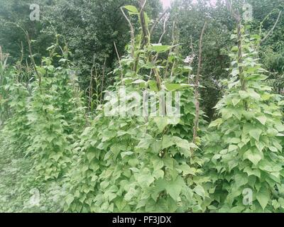 Phaseolus vulgaris . Green vines and leaves creeping on the vertical support. - Stock Photo