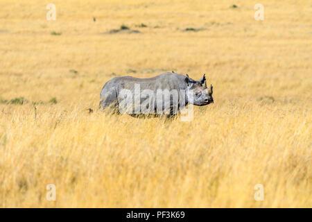 Critically endangered south-central black rhinoceros (Diceros bicornis minor) with a broken horn standing in savannah long grass, Masai Mara, Kenya - Stock Photo