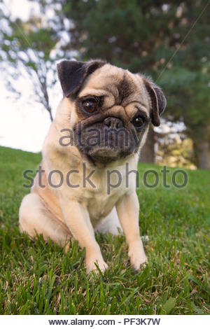 pug sitting on grass and looking at camera with cute expression - Stock Photo