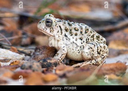 Toad Species (bufonidae) at Rock Town Natural Area - Lucas Park, Wilson Lake, Kansas - Stock Photo