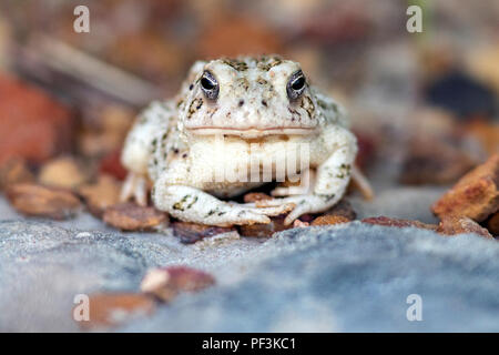Toad Species (bufonidae) at Rock Town Natural Area - Lucas Park, Wilson Lake, Kansas - Stock Photo