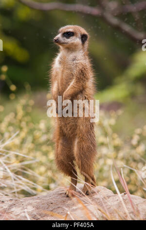 Meerkat on Sentry Duty - Stock Photo