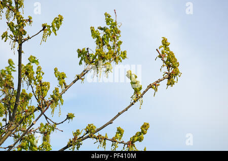 Flowers and emerging leaves of Common Oak, Quercus robur. - Stock Photo