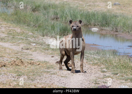 spotted hyena standing on the bank of a dry river in the savanna in the dry season - Stock Photo