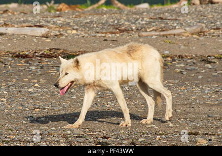 Light colored (almost white) Gray Wolf in Katmai National Park, Alaska.  August 1/2018 - Stock Photo