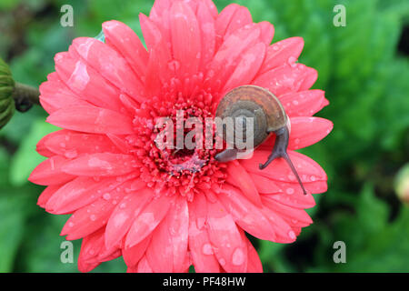Top view of a little snail relaxing on vibrant pink blooming Gerbera flower with snail slime and many water droplets - Stock Photo