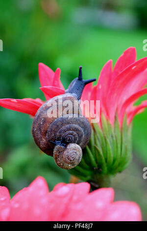 Mother snail carrying baby snail on her shell climbing on a vivid pink flower with blurred green field in background - Stock Photo