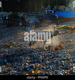 Dog shaking off water on the pebble beach in village of Beer in Devon - Stock Photo